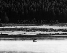 Jon Paul Photography - Bull Elk Swimming, Hayden Valley, Yellowstone National Park