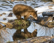 Original fine art pohotography titled Reflecting Bear by Jon Paul