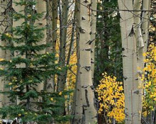 Jon Paul Photography - Aspen, Pine and Boulders Panorama