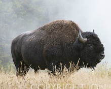 Jon Paul Photography - Bison and Geyser Steam, Yellowstone