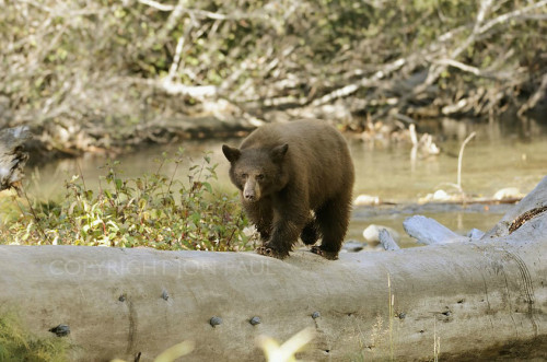 Jon Paul Photography - Black Bear Walking on Log